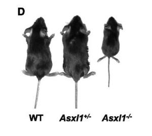 asxl1-mice
